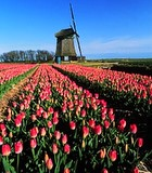 dutch-tulips.jpg